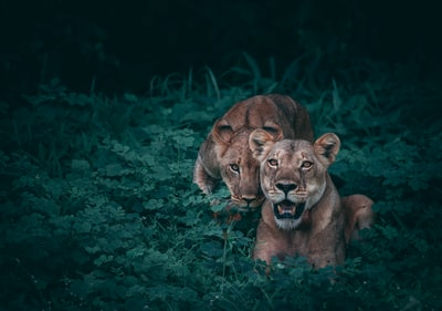 two lioness on green plants two zoom background