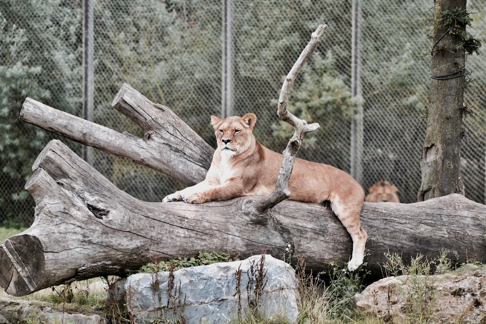 brown lioness near gray metal fence at daytime