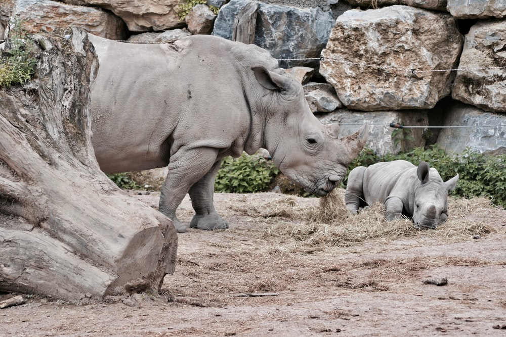 two rhinoceros eating in front of rock wall