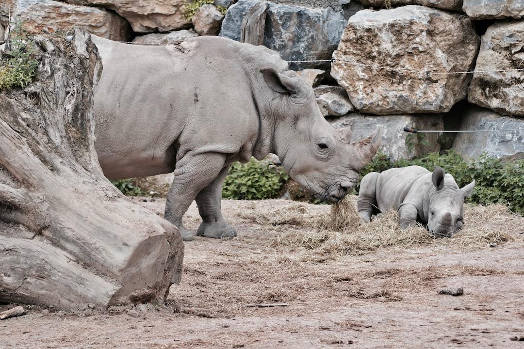 Cute mommy rhino and baby rhino @ Pairi Daiza