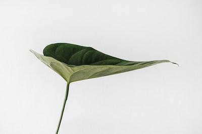 green leaf photography