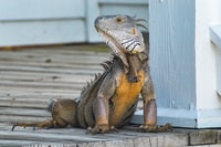 yellow and gray iguana standing on brown wooden panel