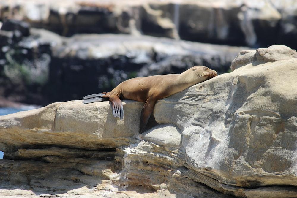 brown seal on rock