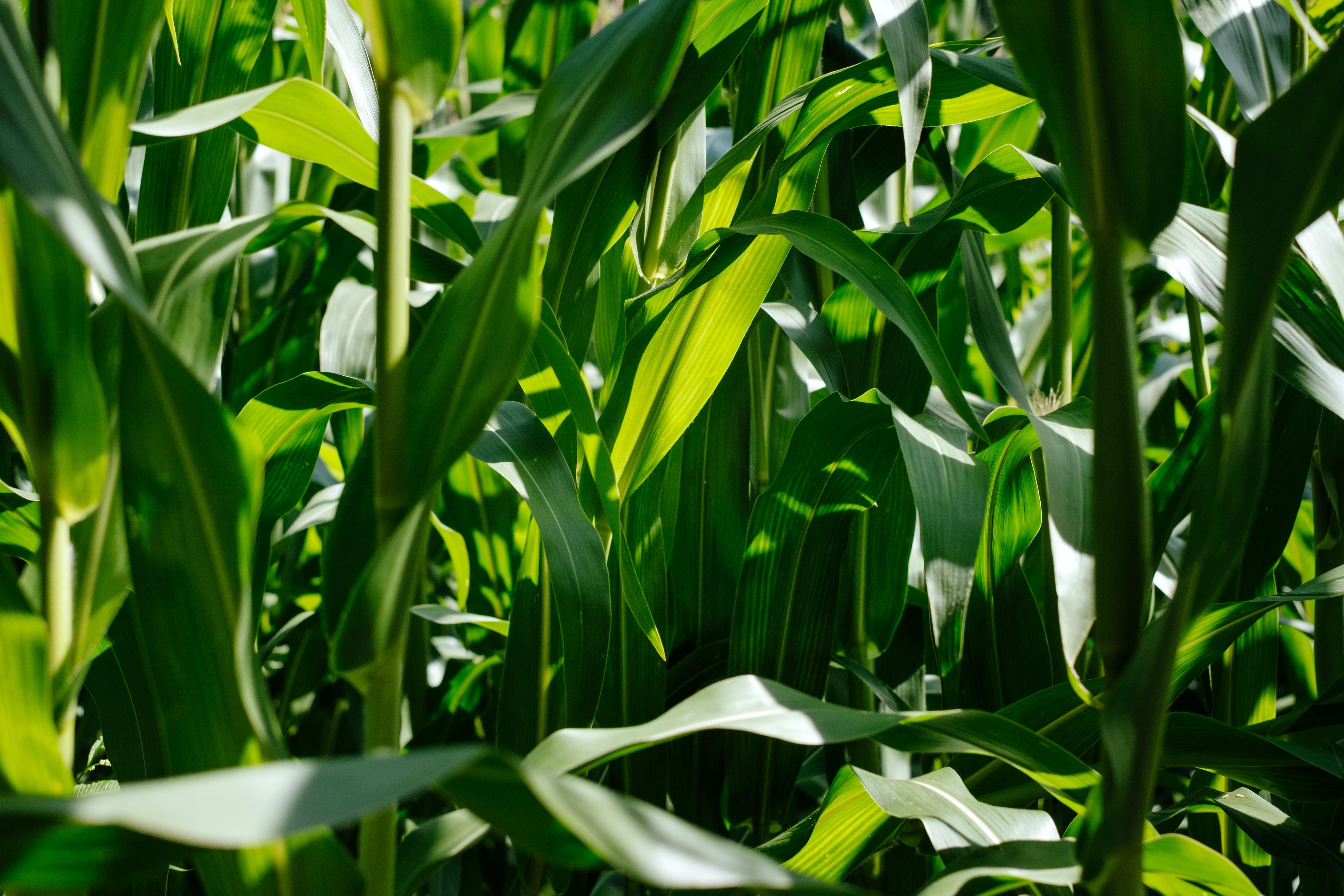 photo of green corn plants