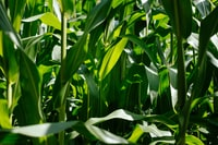 photo of green corn plants