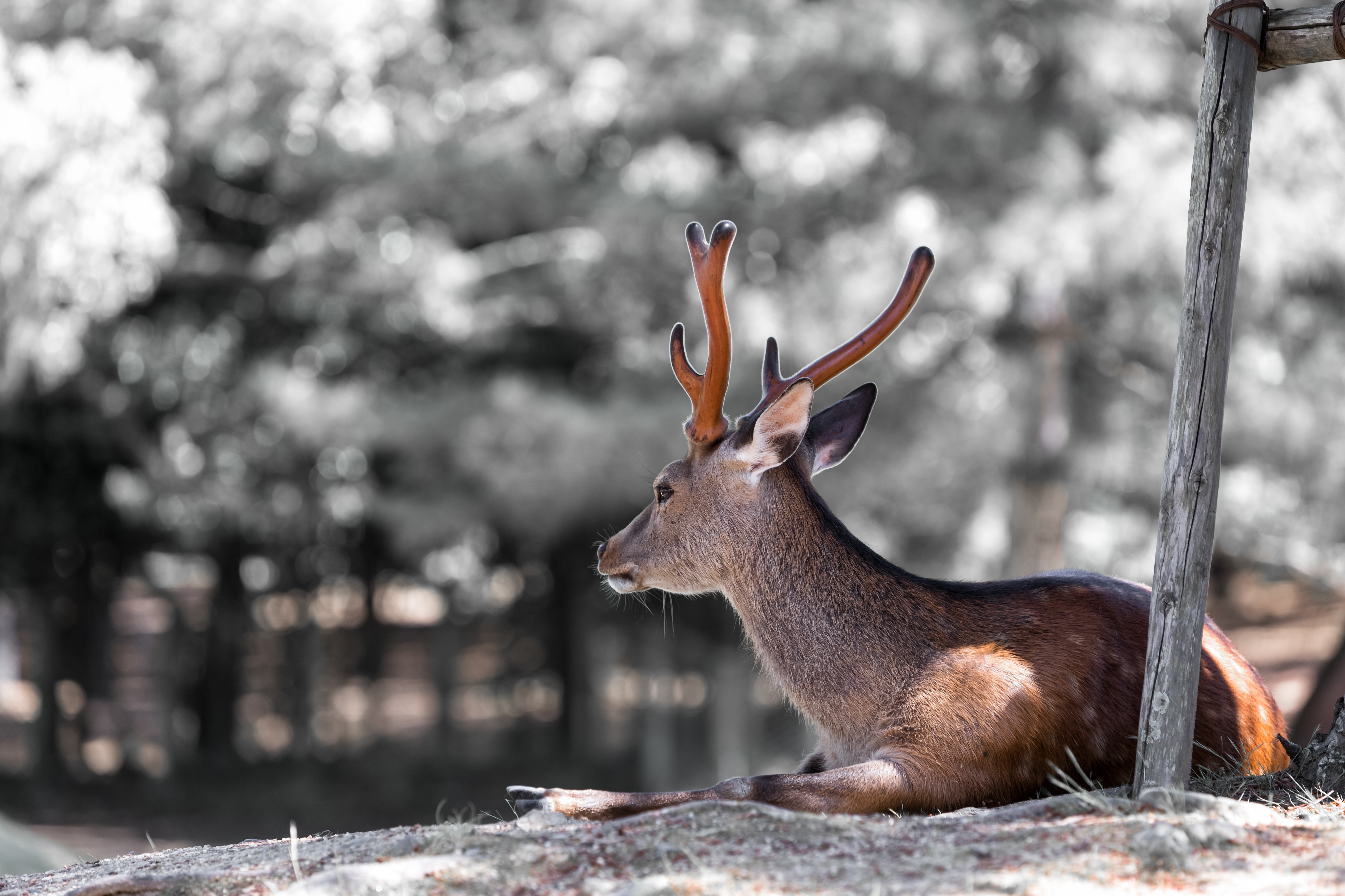 A deer lying down next to a forest.