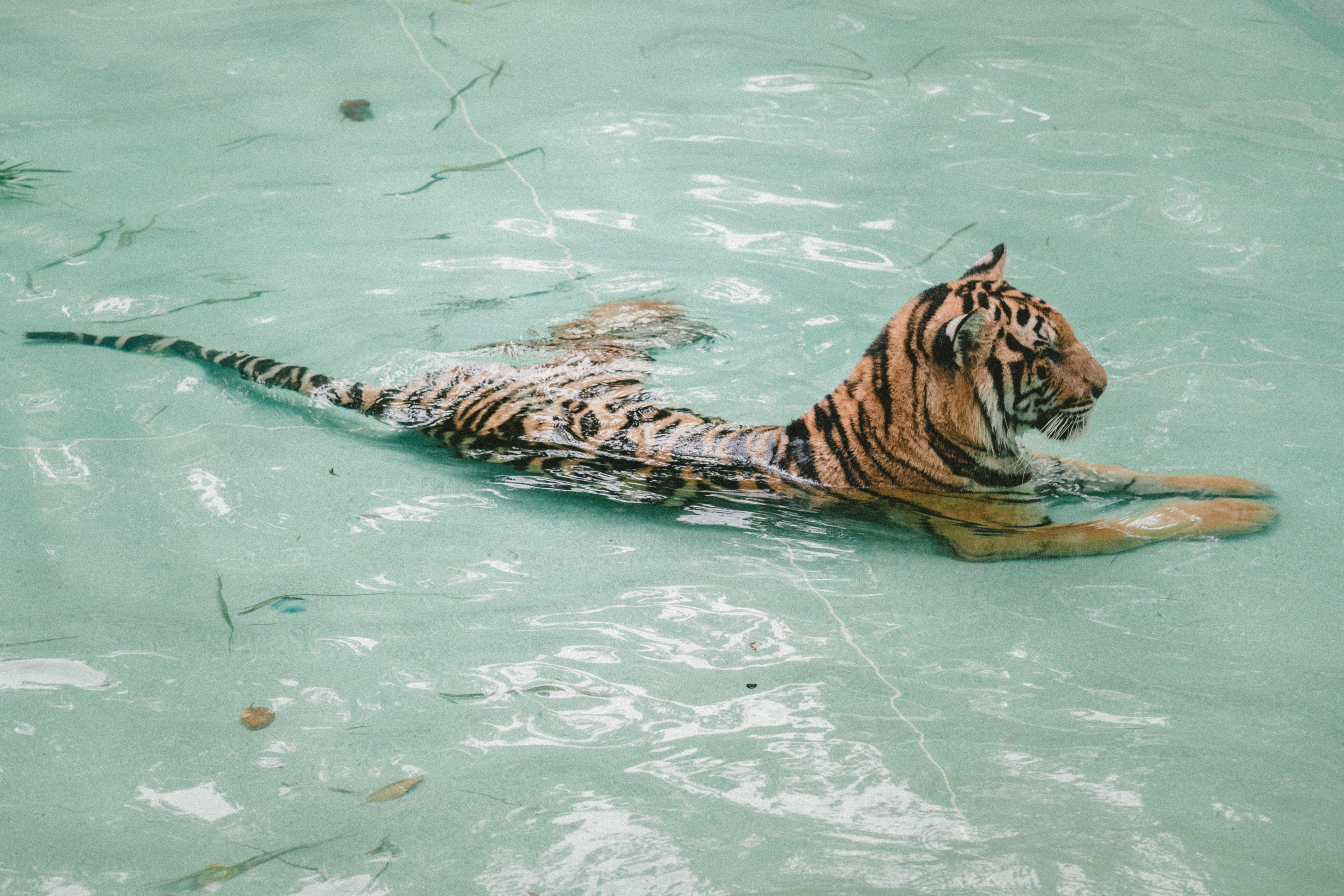 tiger taking bath