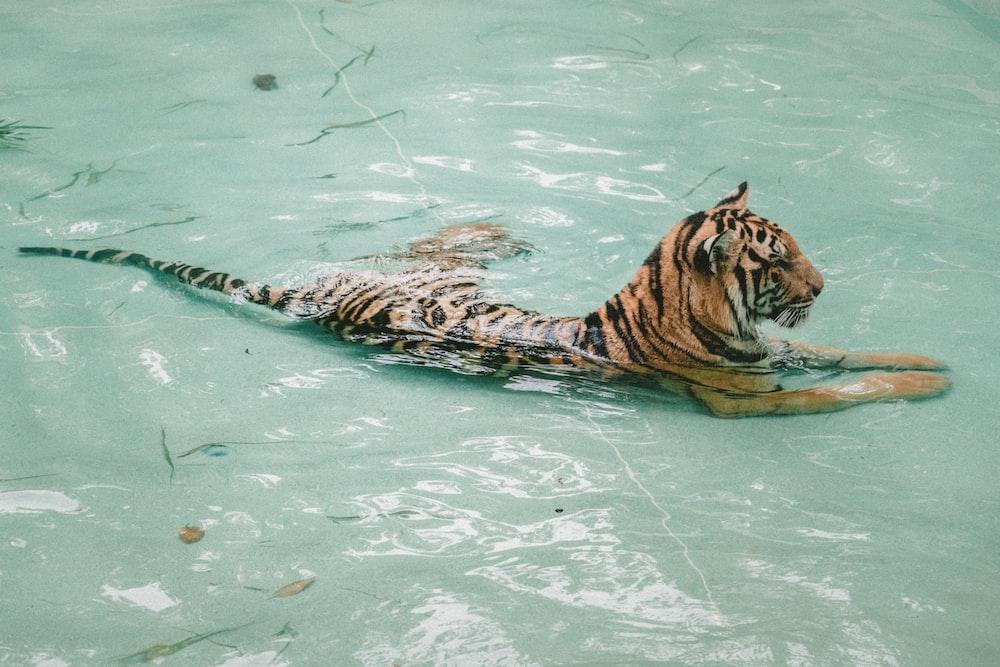 tiger taking bath