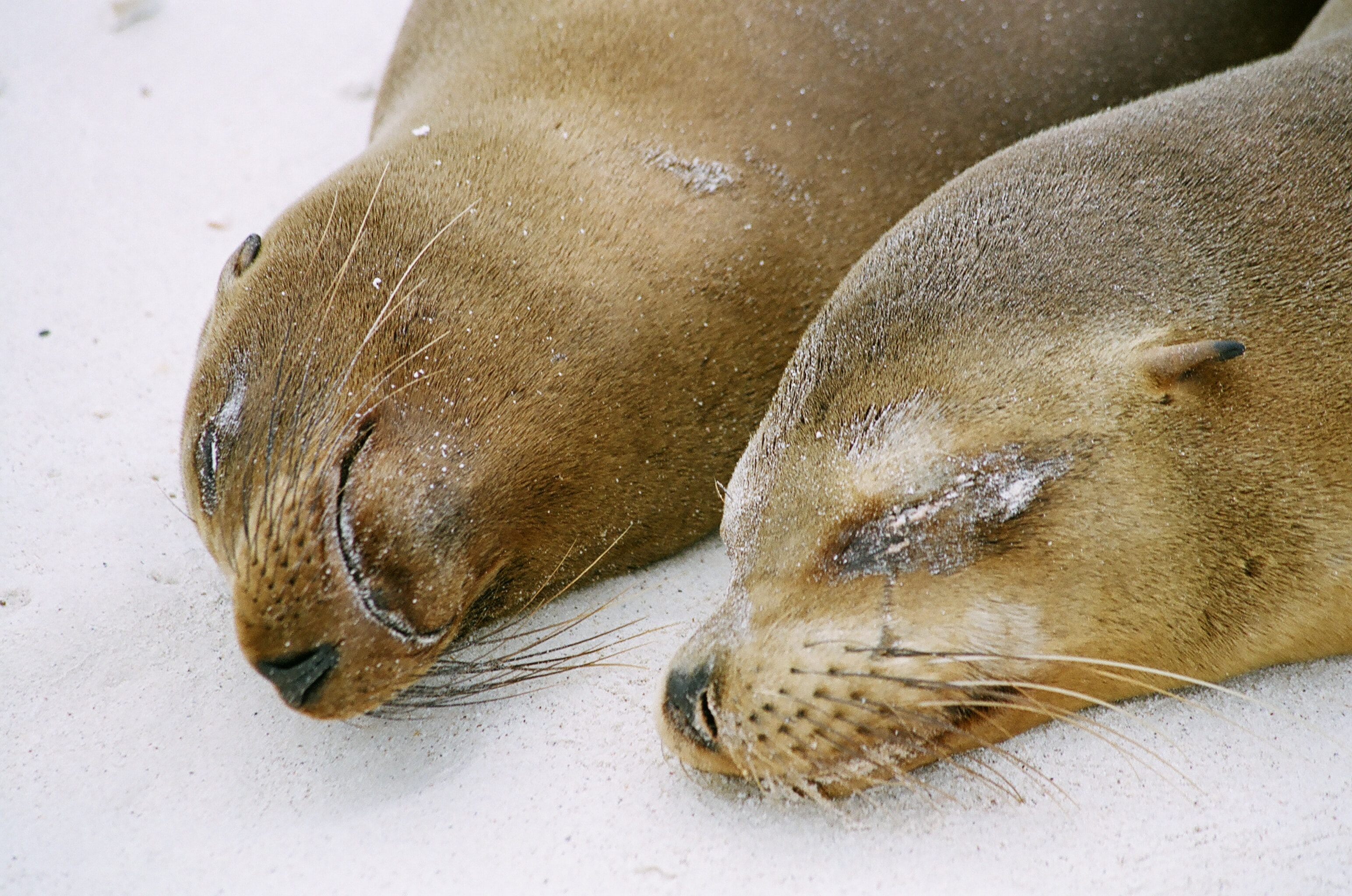 two brown sea lions