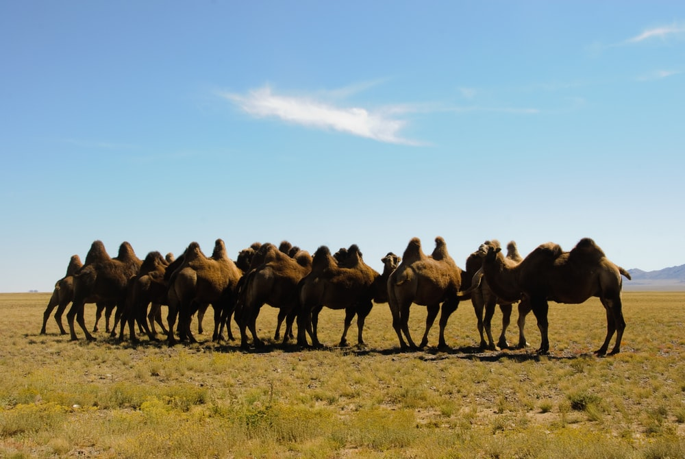 Brown Mongolian Camels in a field