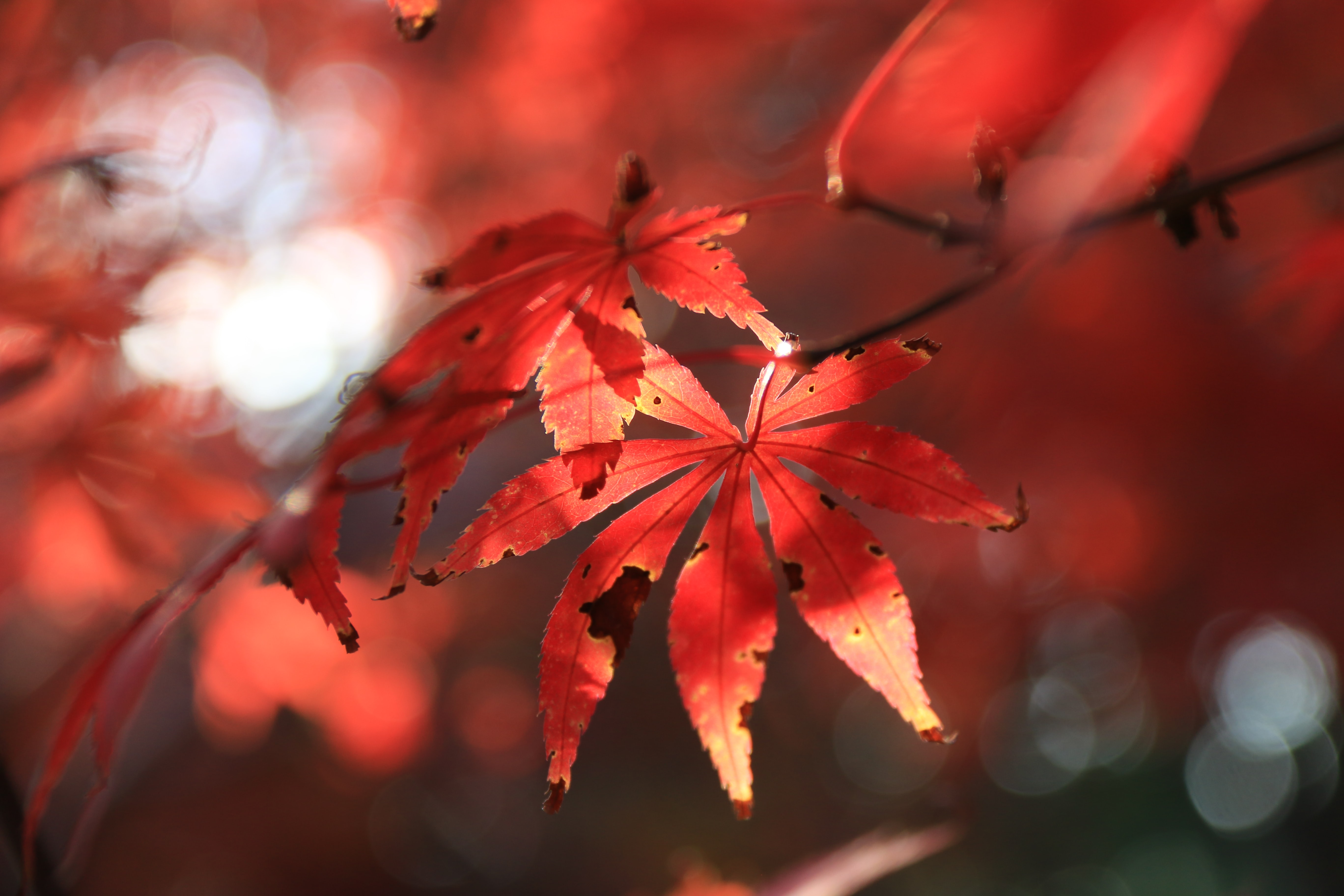 closeup photo of red leafed plant