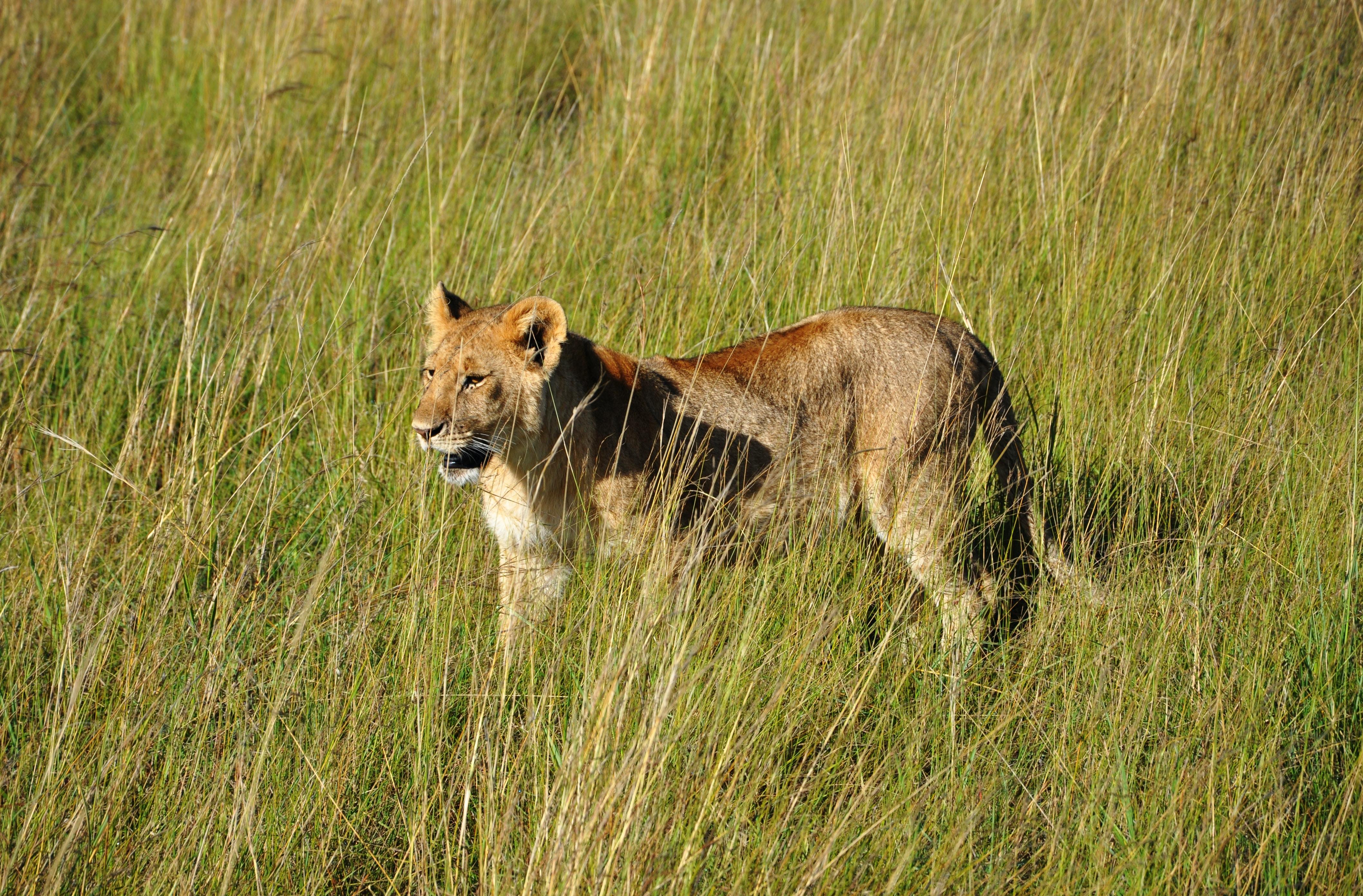 lioness on grass field