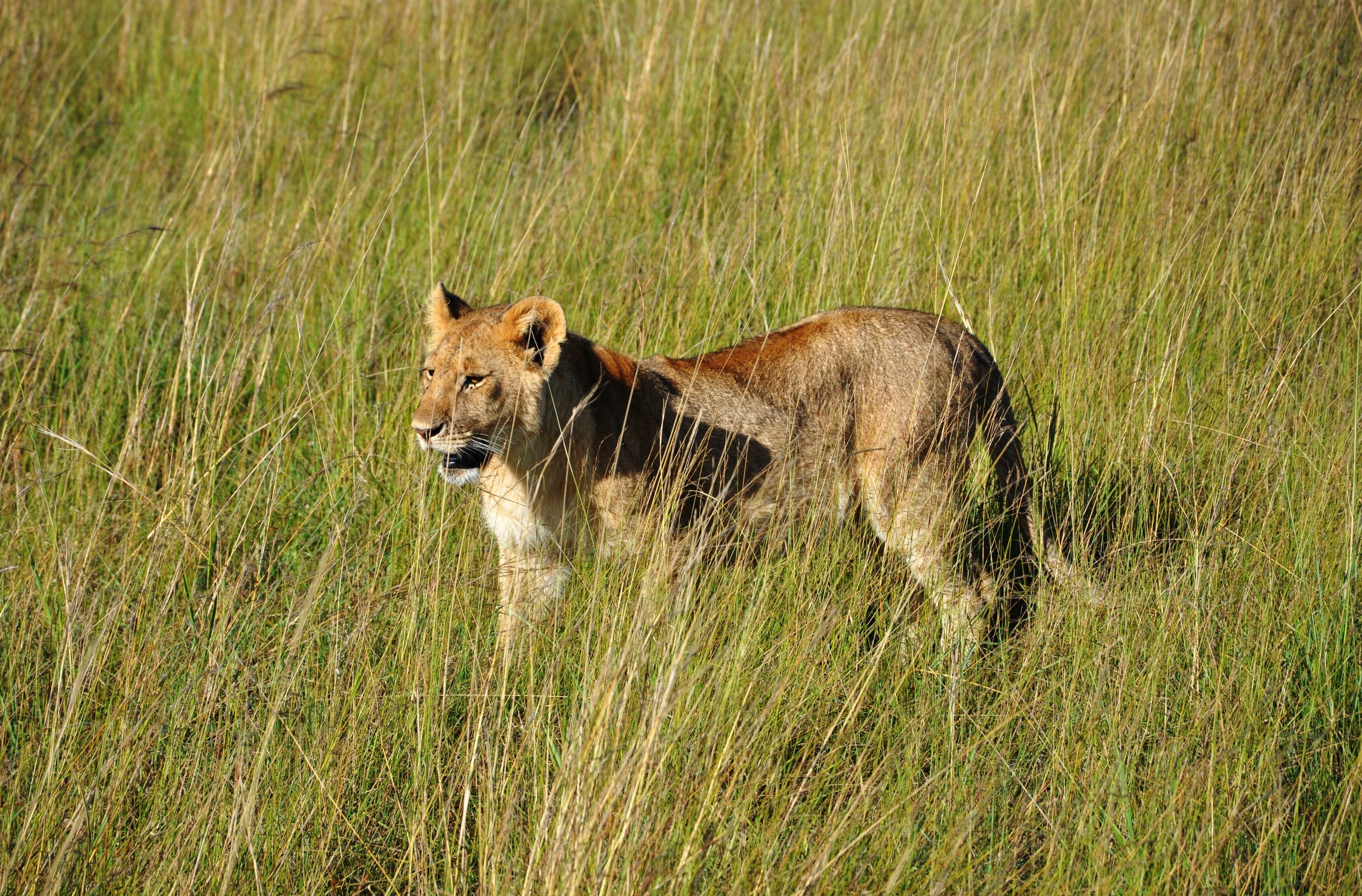 lioness on grass field