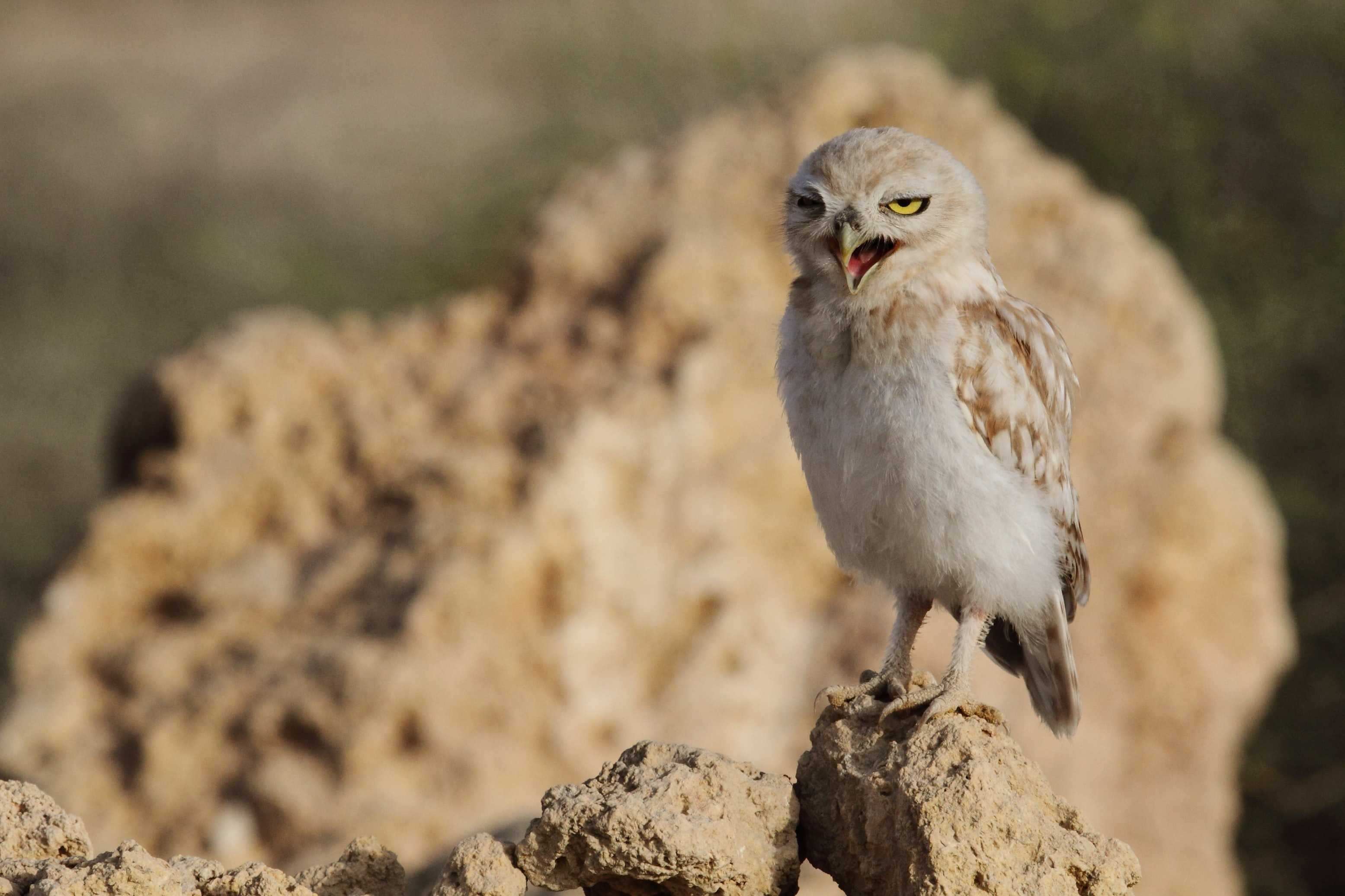 brown owl perching on brown rock