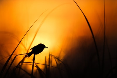 a,silhouett,imag,of,a,bird,sit,on,marshland,as,sun,set,in,background