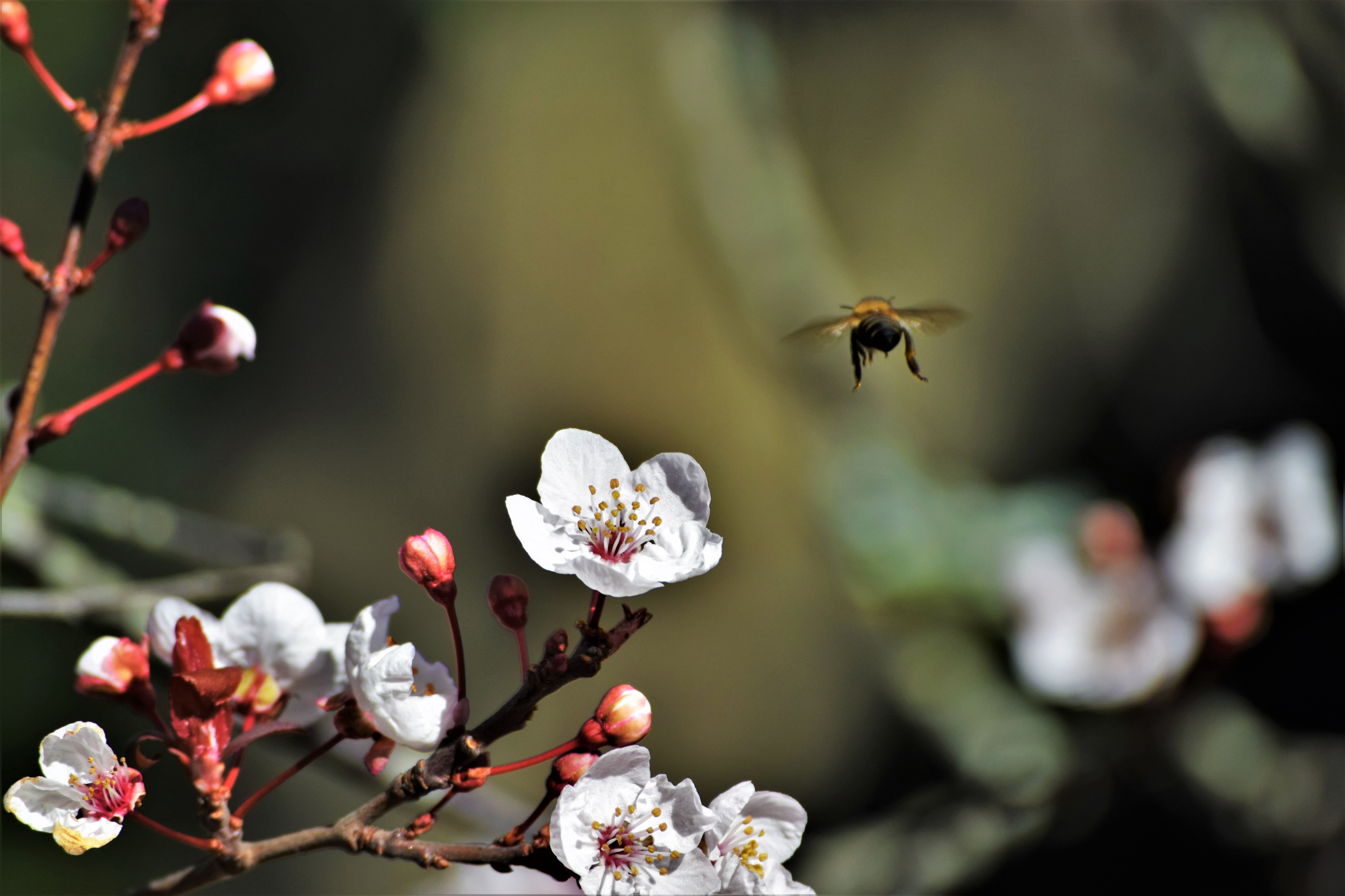 wildlife photography of bee and white petaled flower