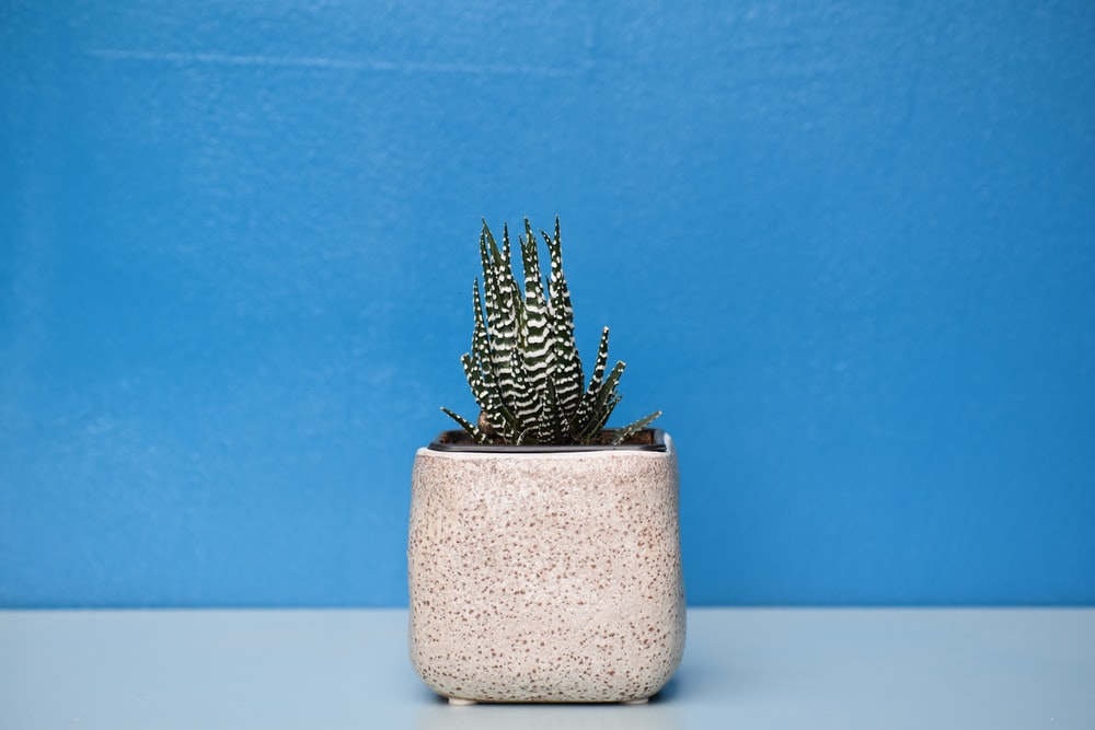 green and white succulent plant with beige pot