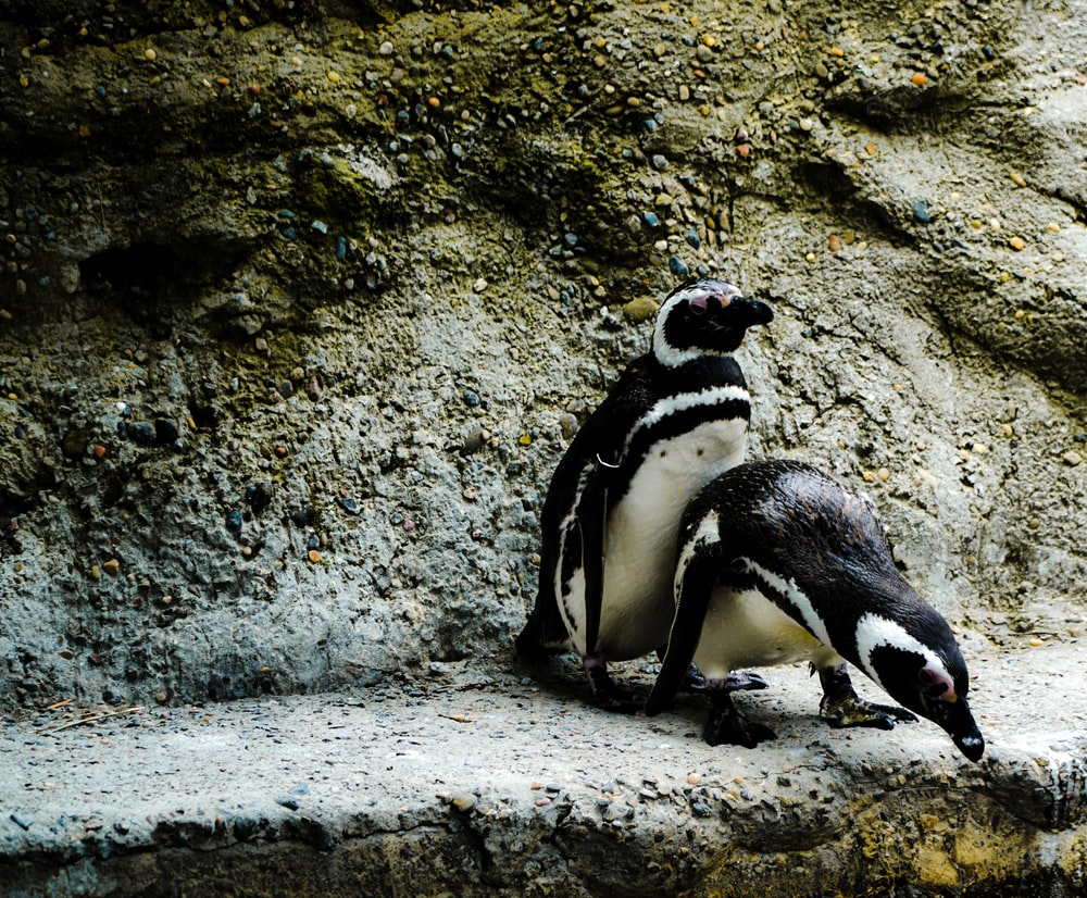 two penguin on concrete pavement