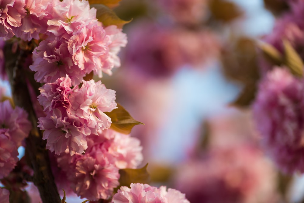 selective photography of pink carnation flowers