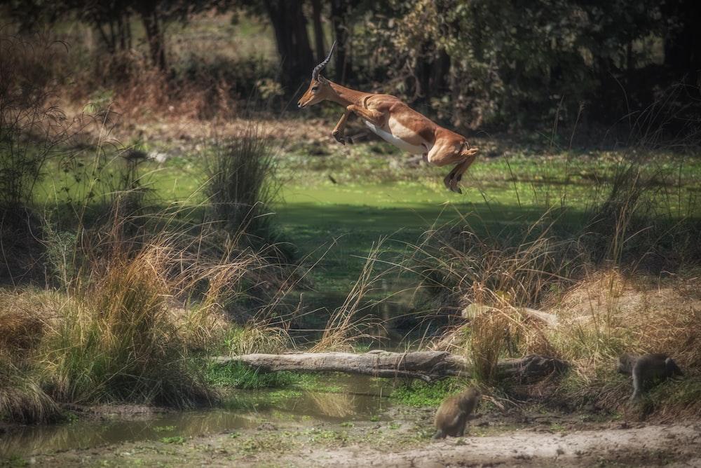 hopping deer on grassfield