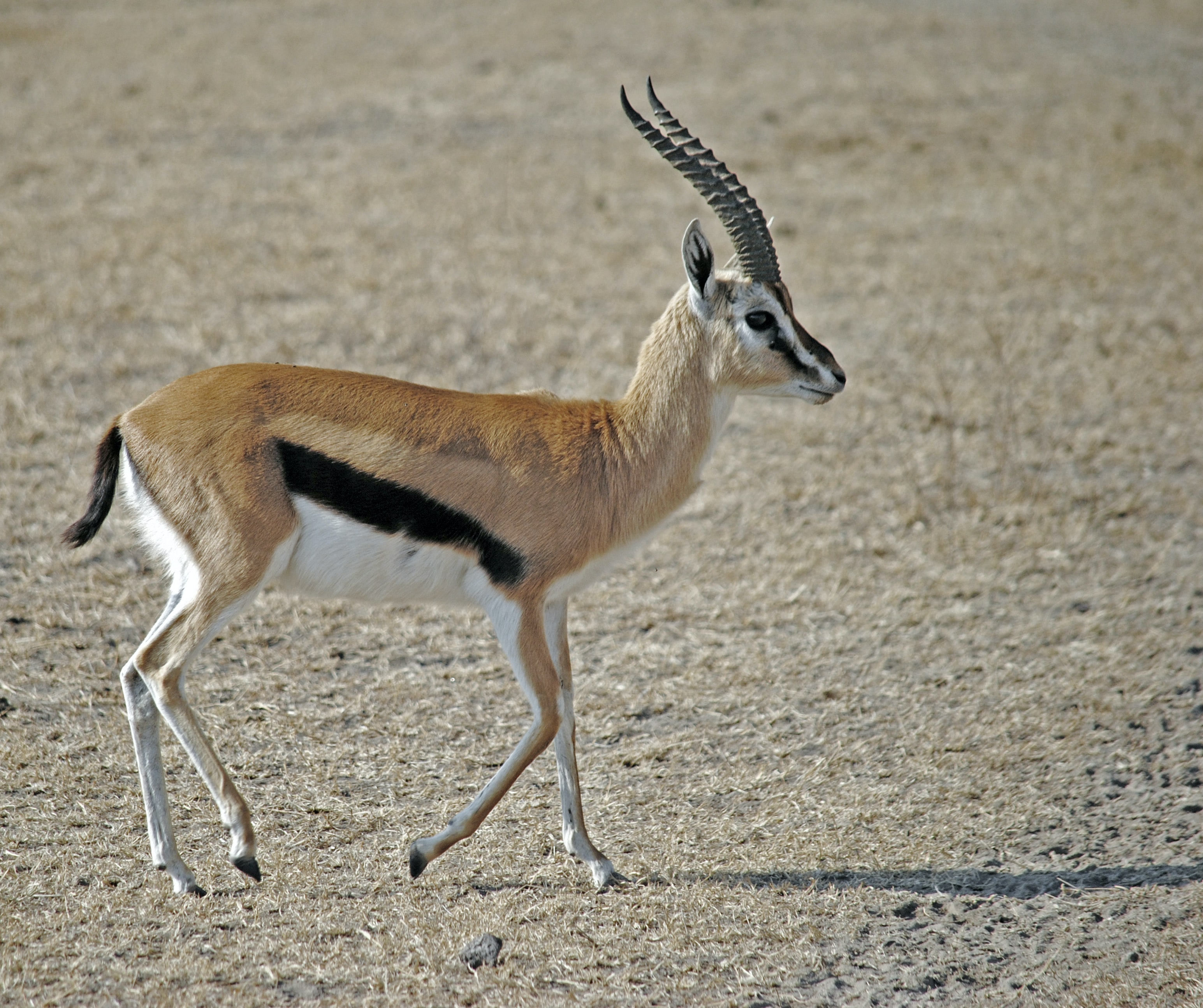 brown, white, and black gazelle on brown sand during daytime