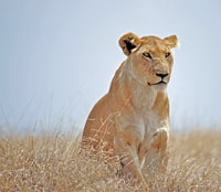 lioness on dried grass