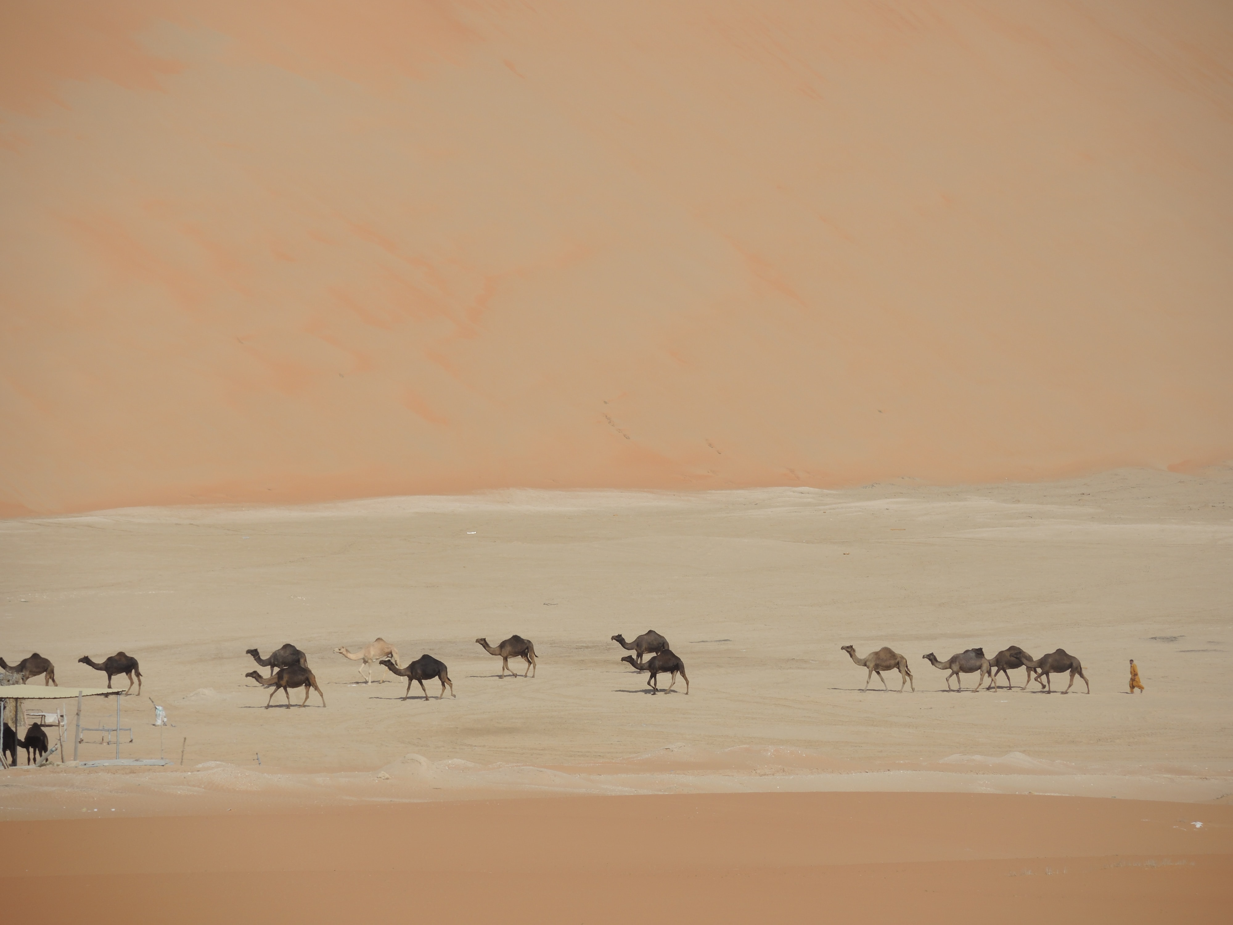 A herd of camels walking through a stream of water in the desert.