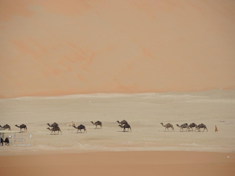 group of camels walking on desert lake at daytime