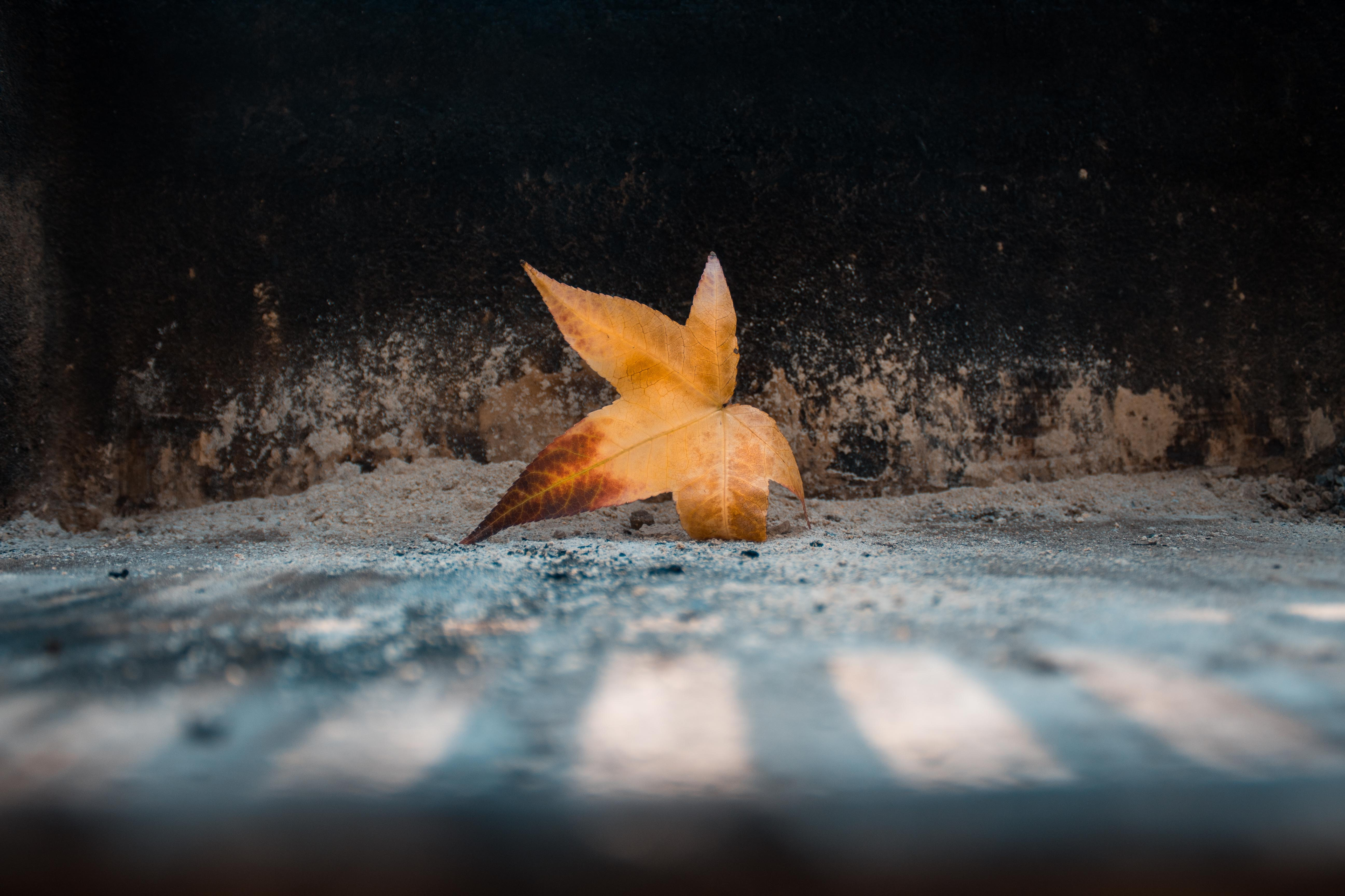 shallow focus photography of dried maple leaf