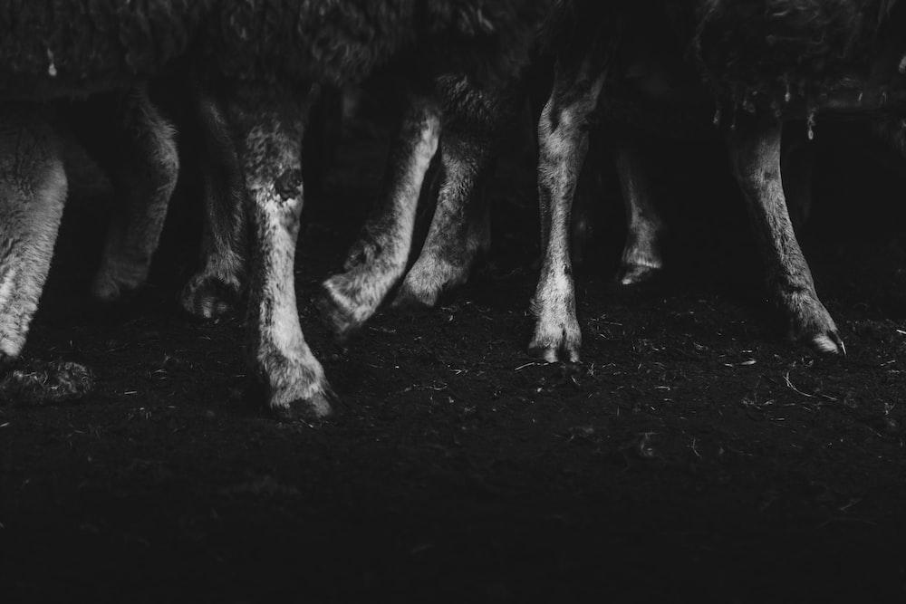 grayscale photo of animal feet