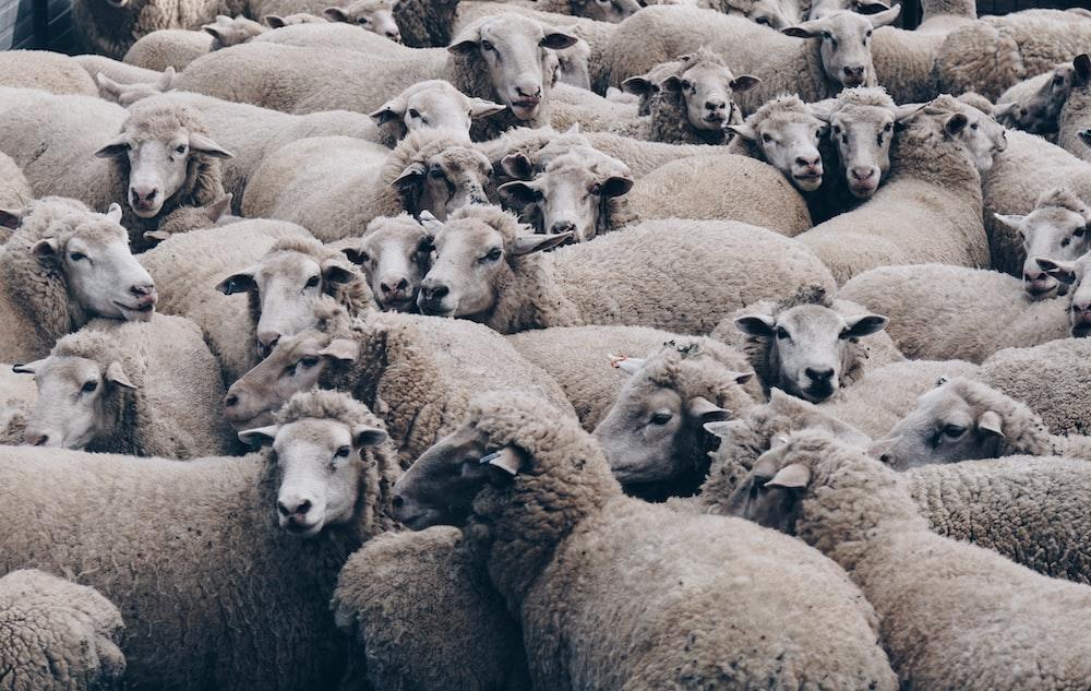 herd of brown sheep