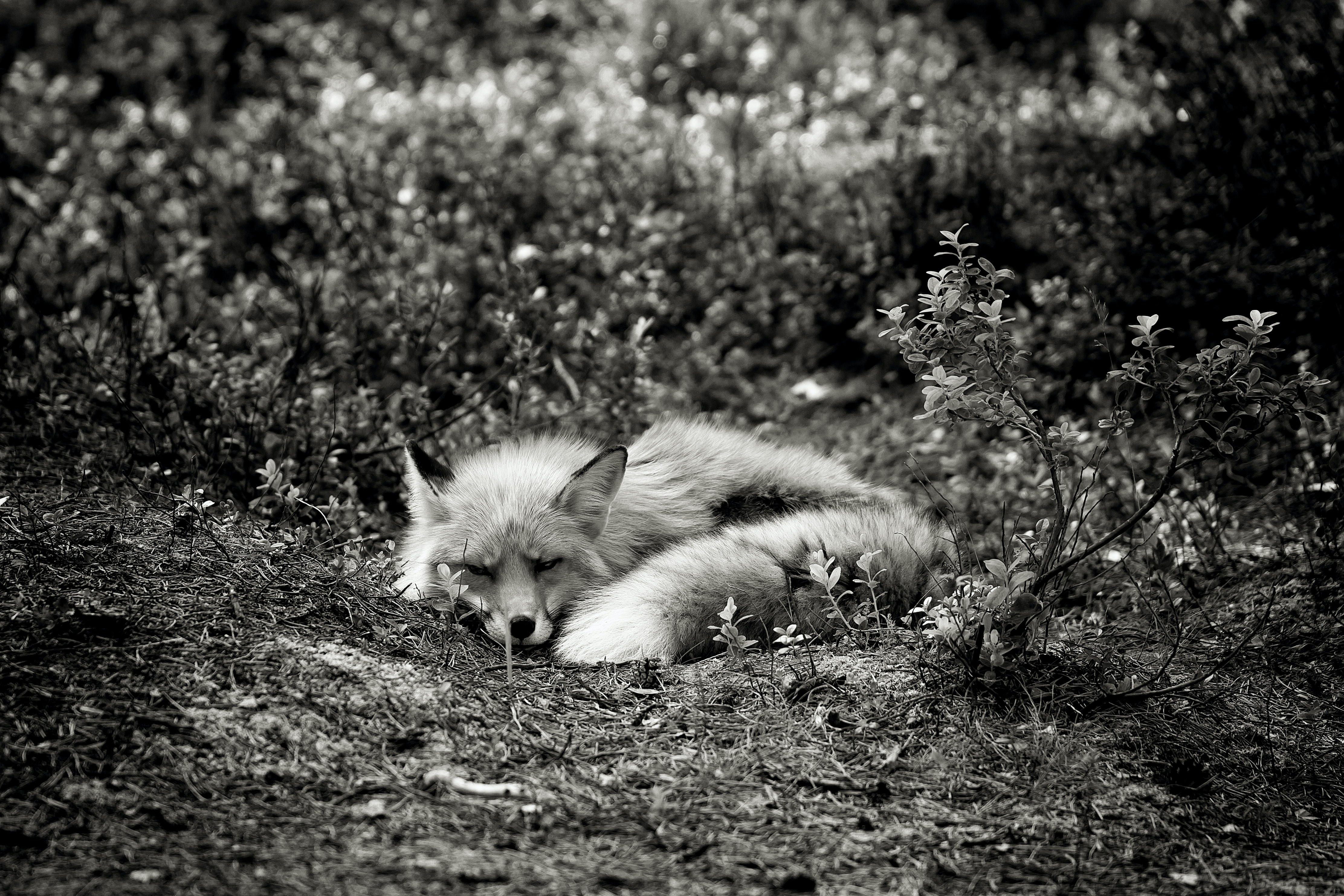 grayscale photography of fox lying on grass