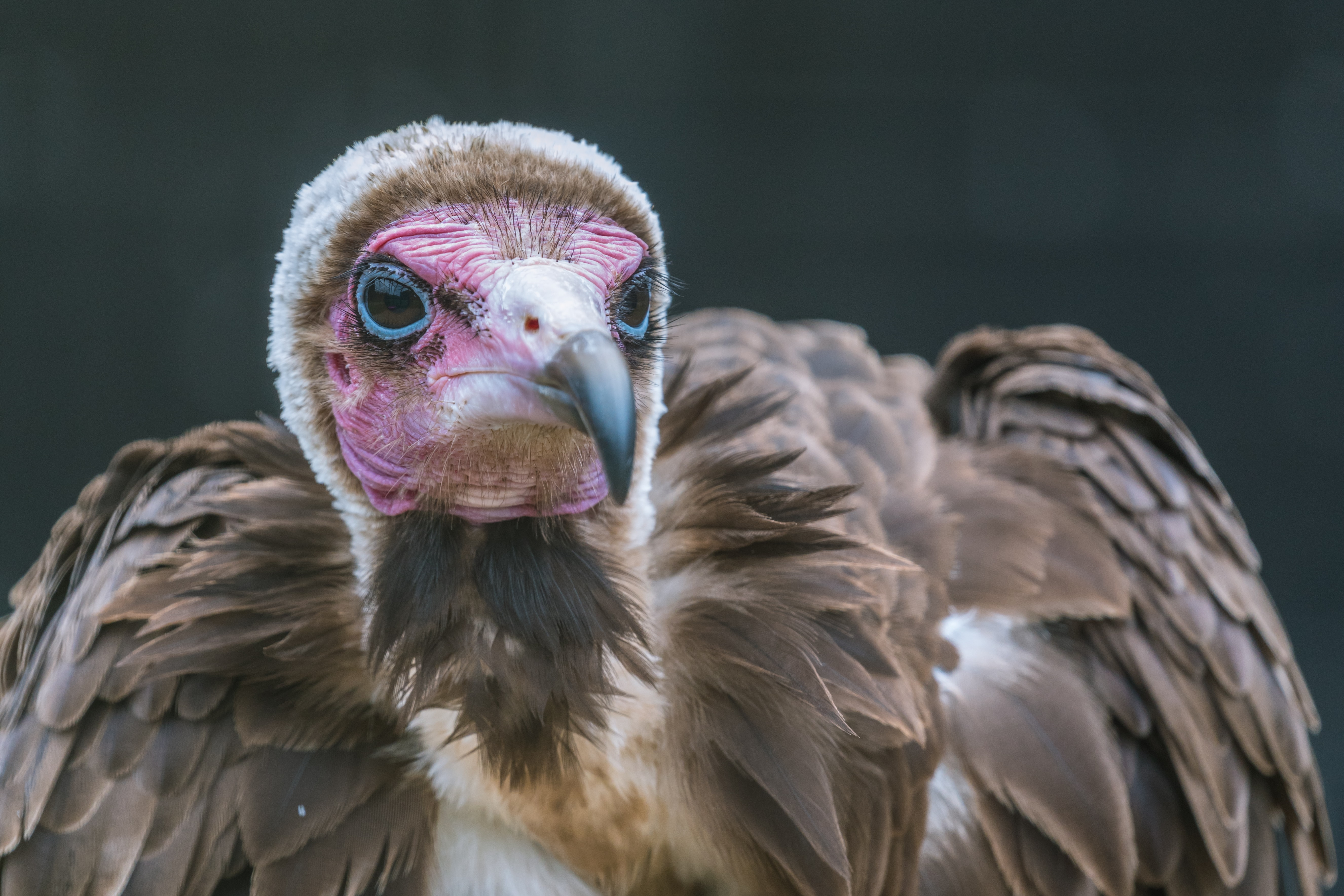 brown vulture