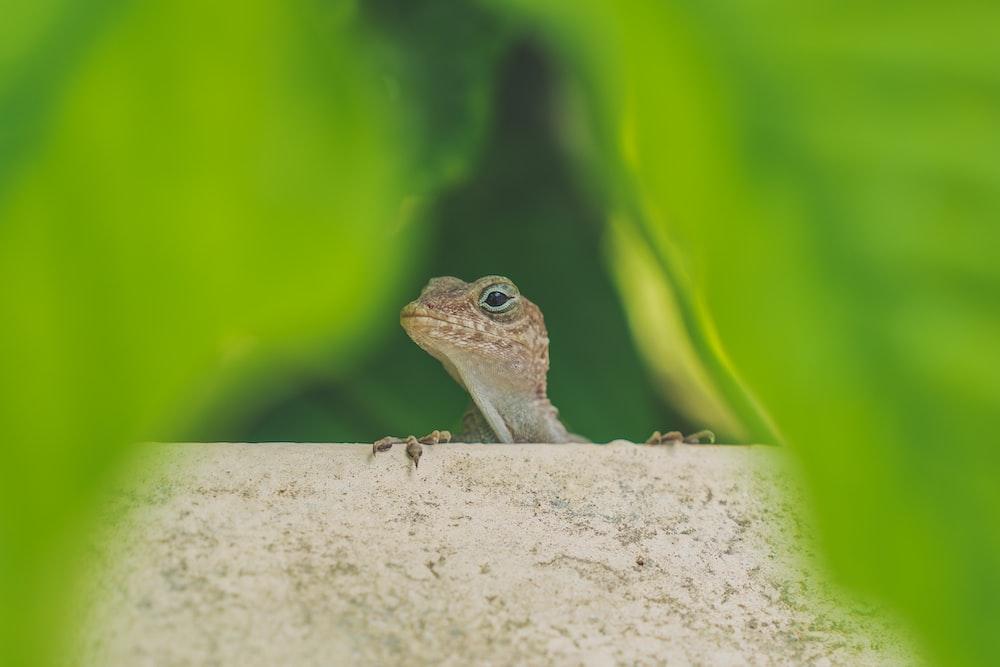 wildlife photography of gray lizard