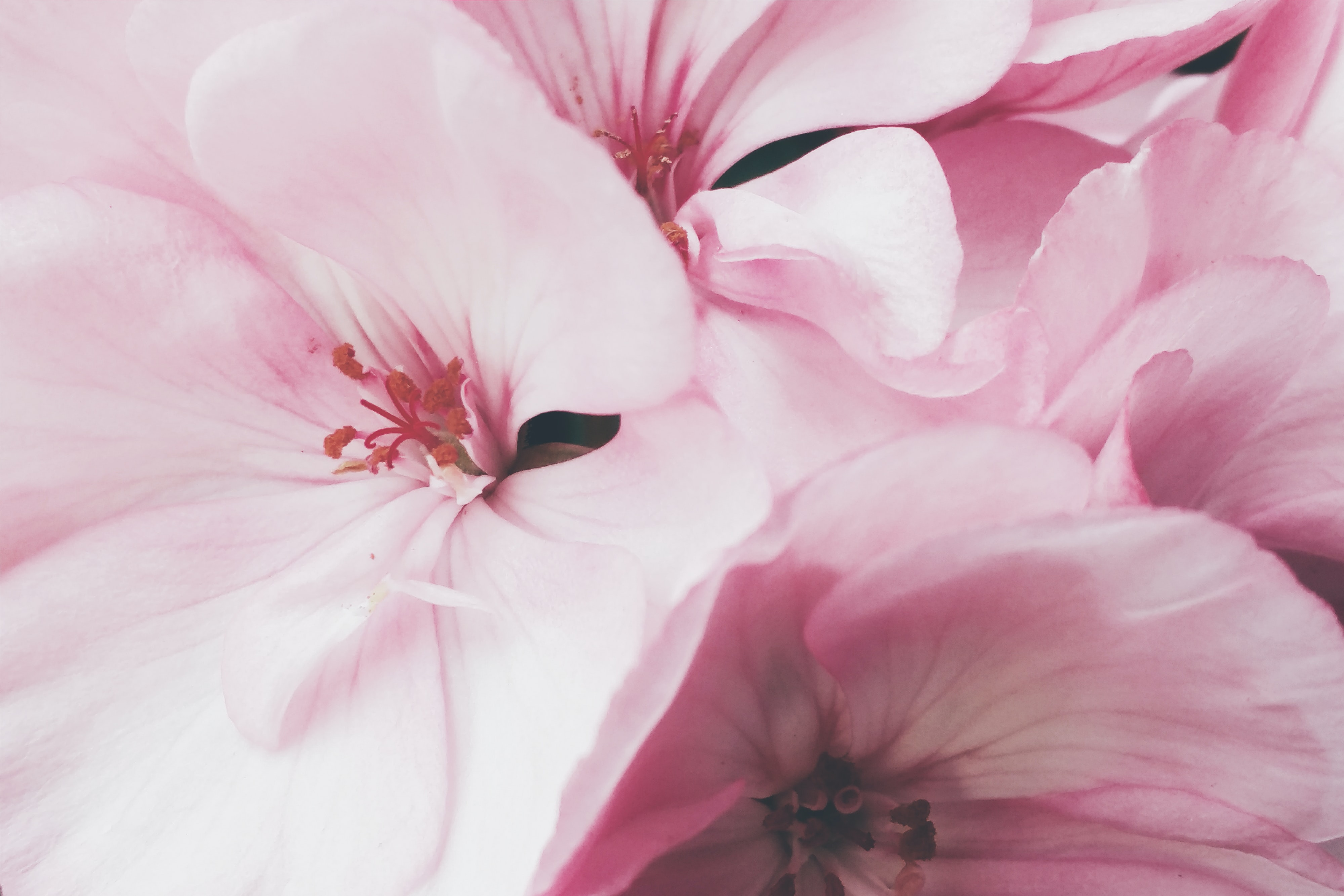 A macro shot of the petals on a pinkish white flower.
