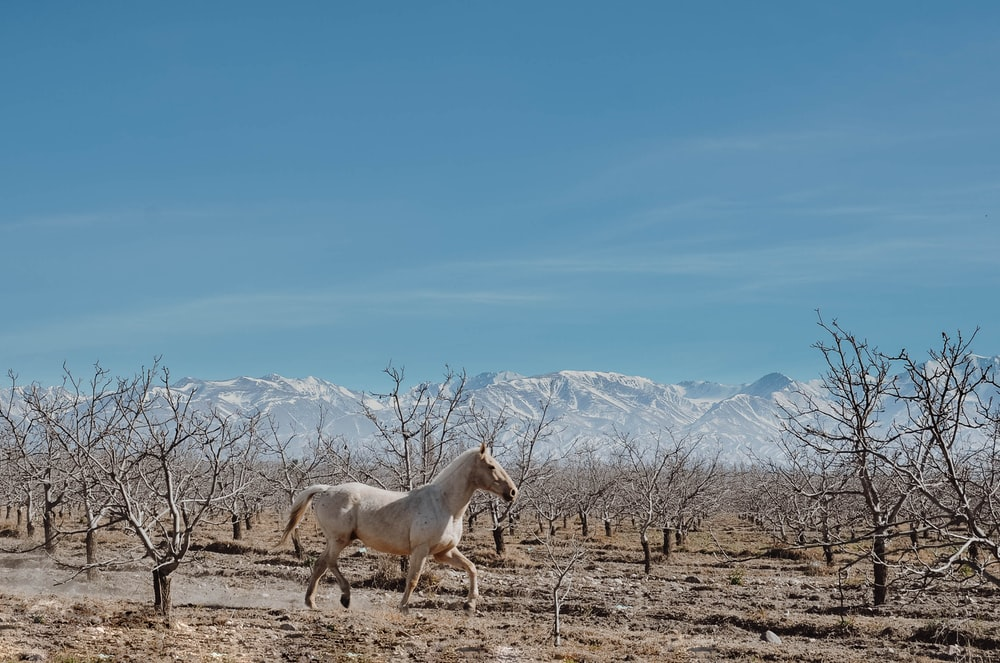 white stallion running on ground next to leafless trees