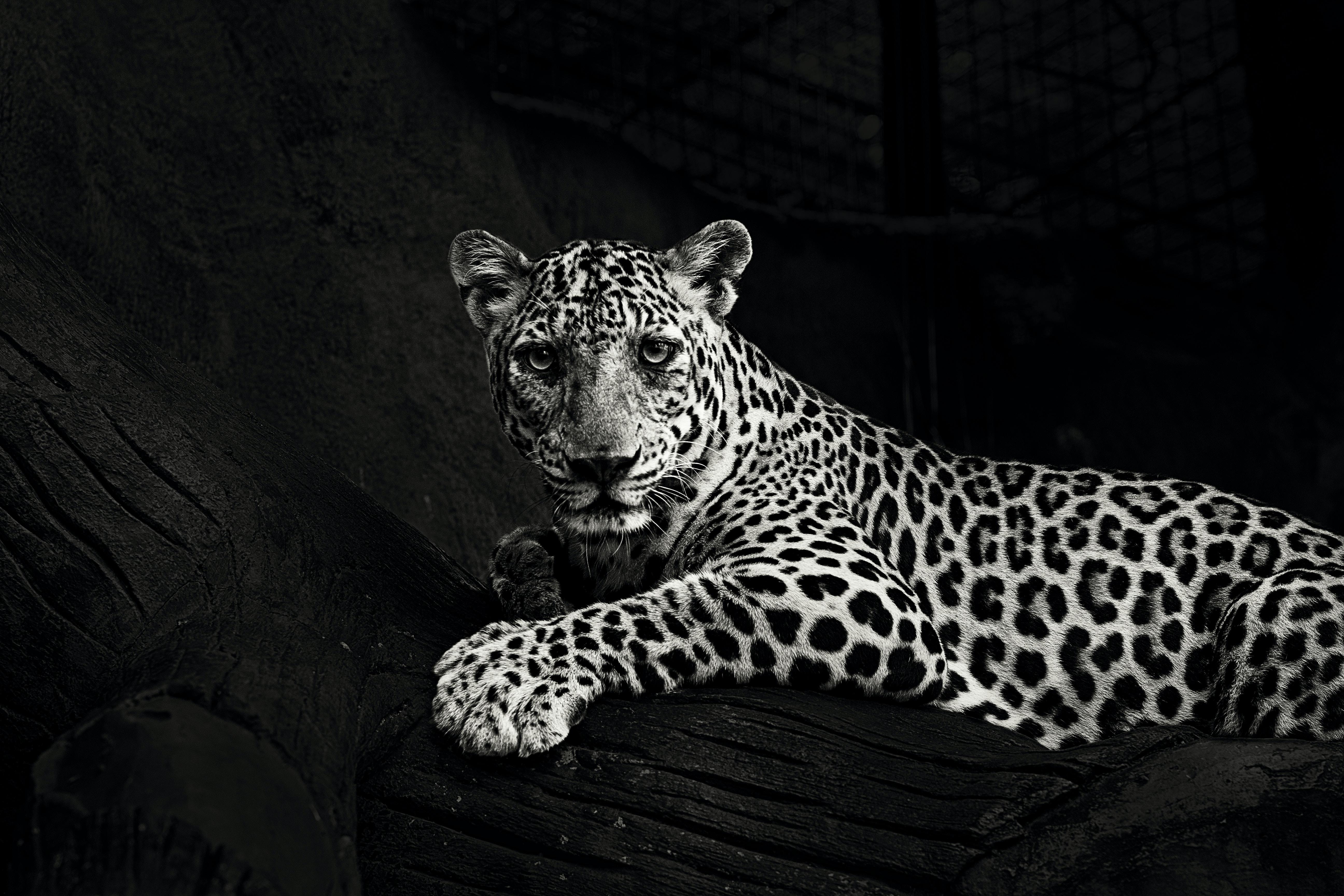 greyscale photo of lying leopard