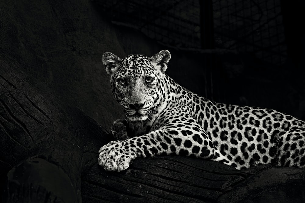 greyscale photo of lying leopard