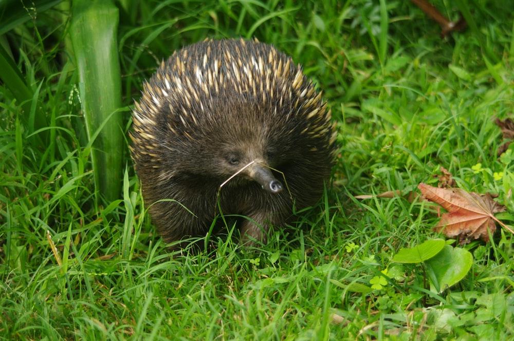 hedgehog walking on green grass