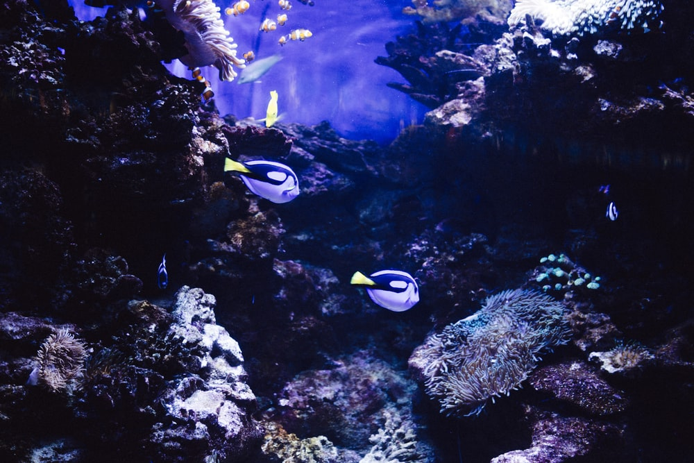 two blue-and-black fishes under the sea