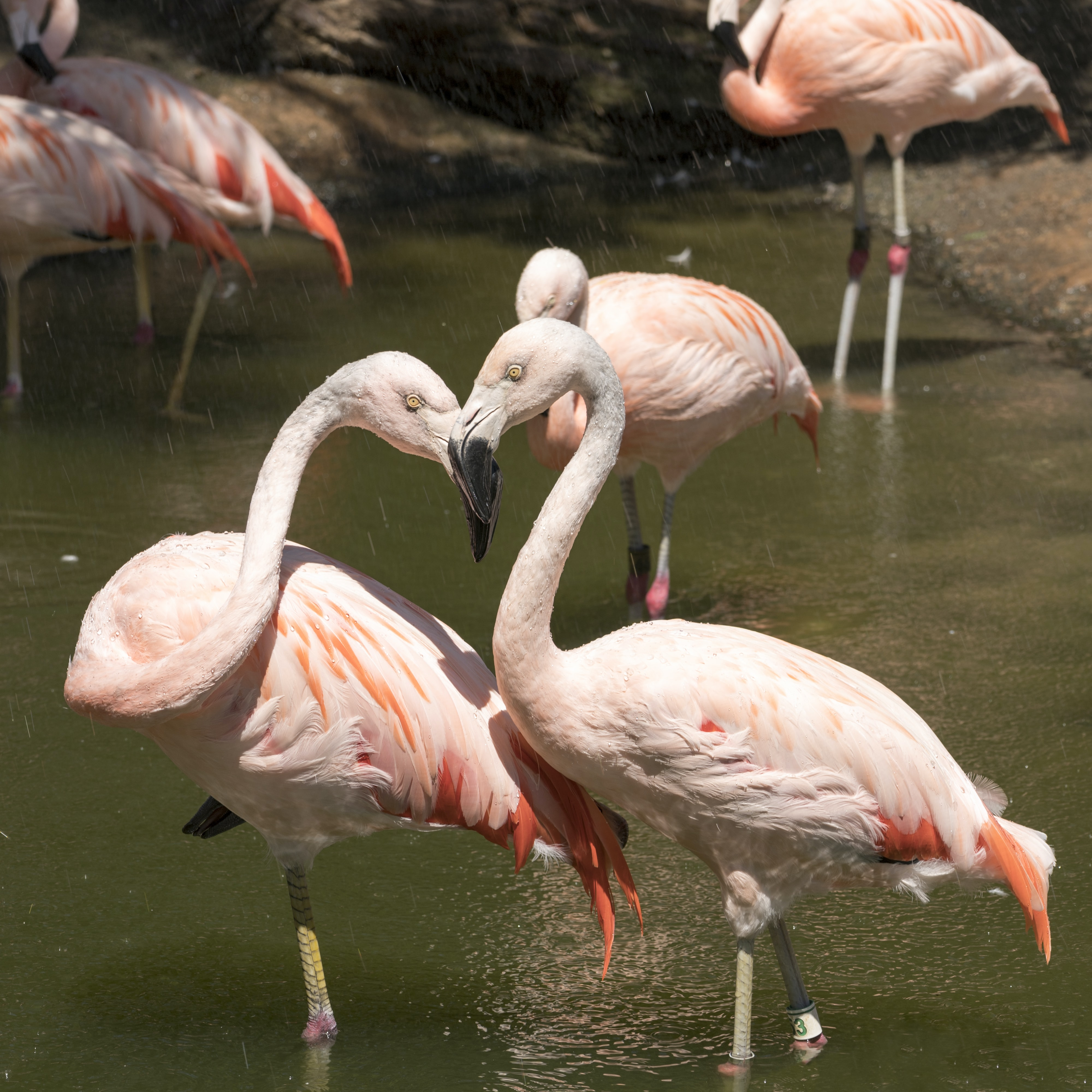 pink flamingos during daytime
