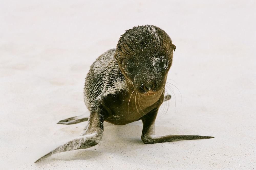 baby black seal on snow