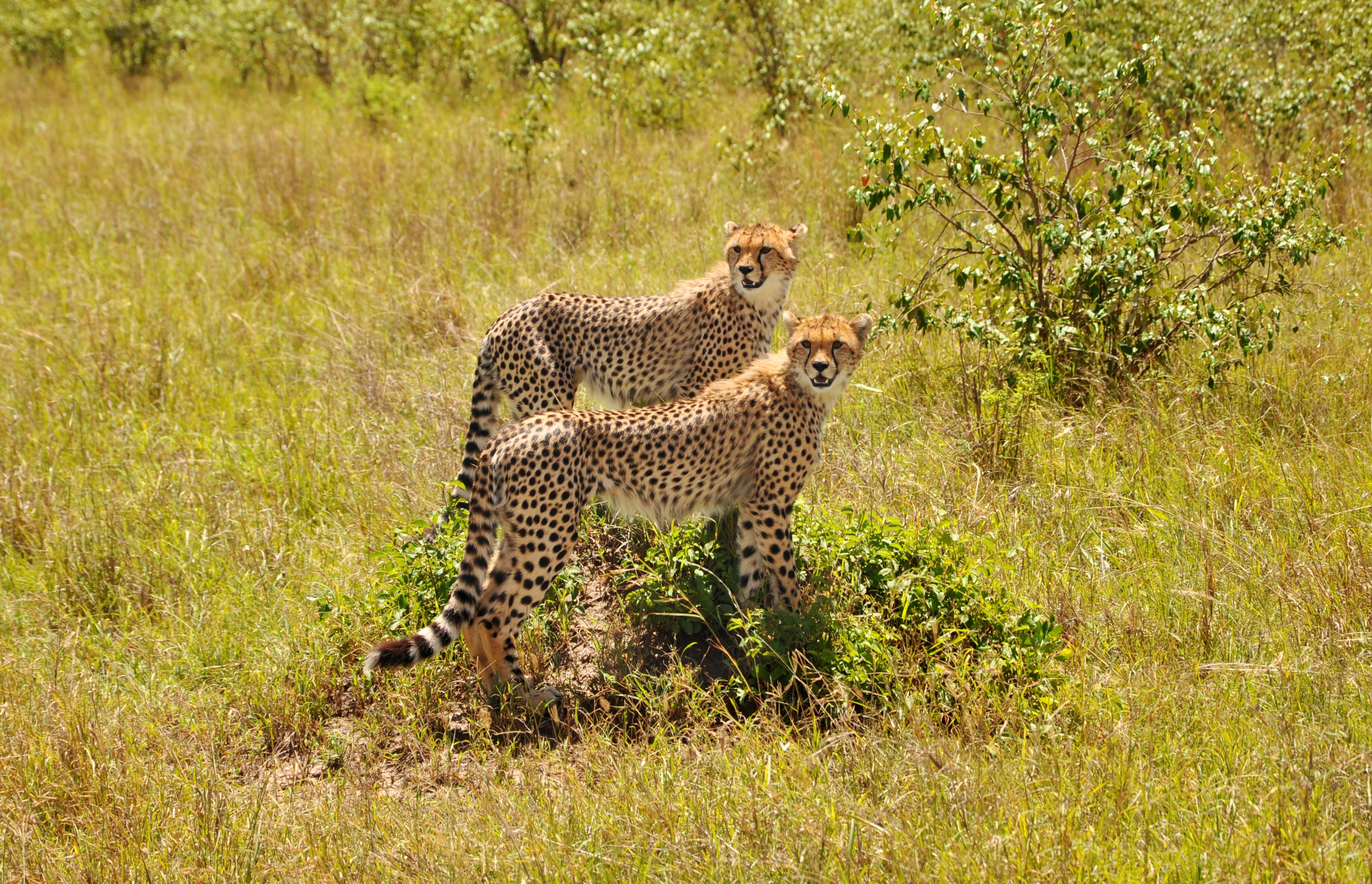 wildlife photography of two cheetahs