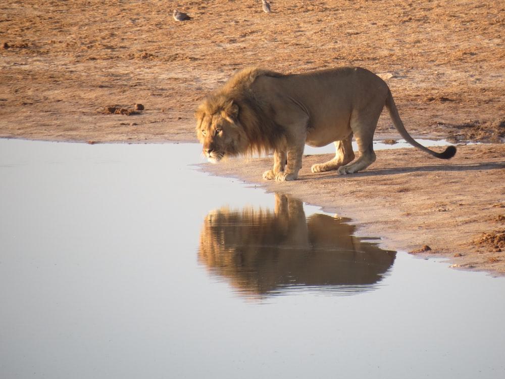 lion near body of water