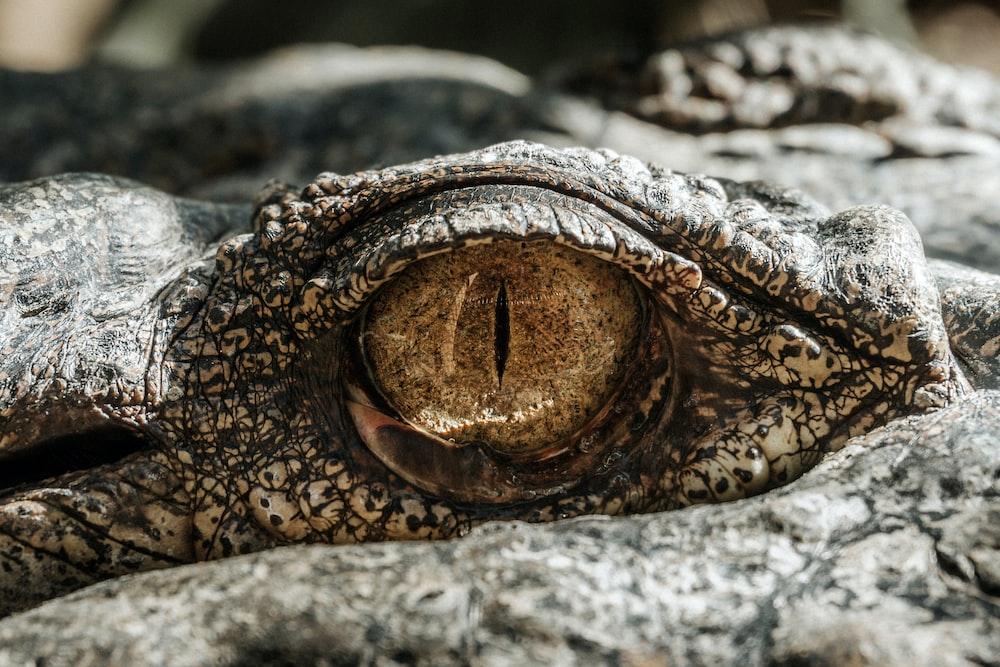 macro photography of gray alligator eye