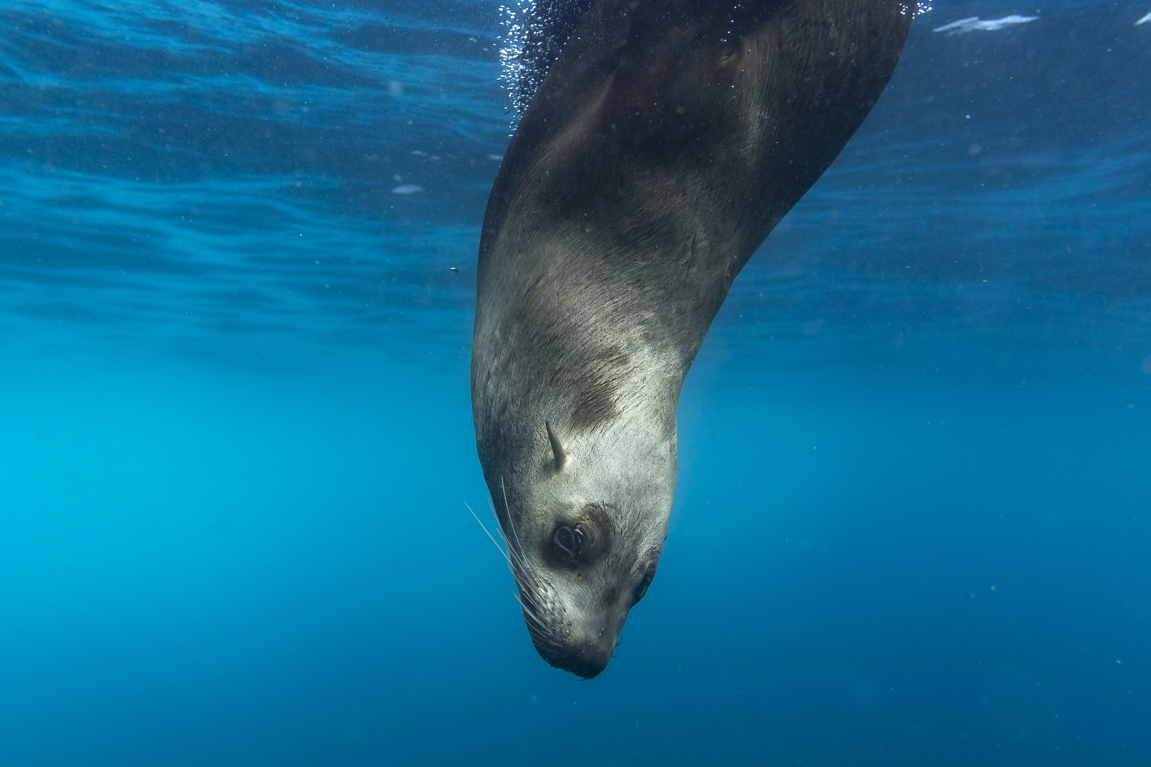 A sea lion diving down into the ocean.