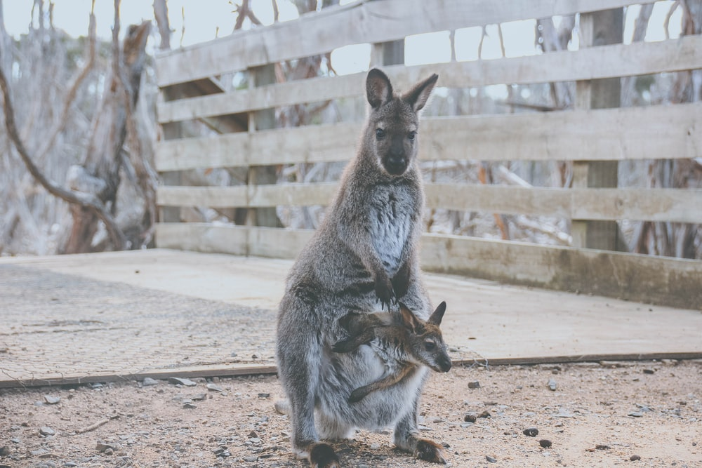 two joey in kangaroo
