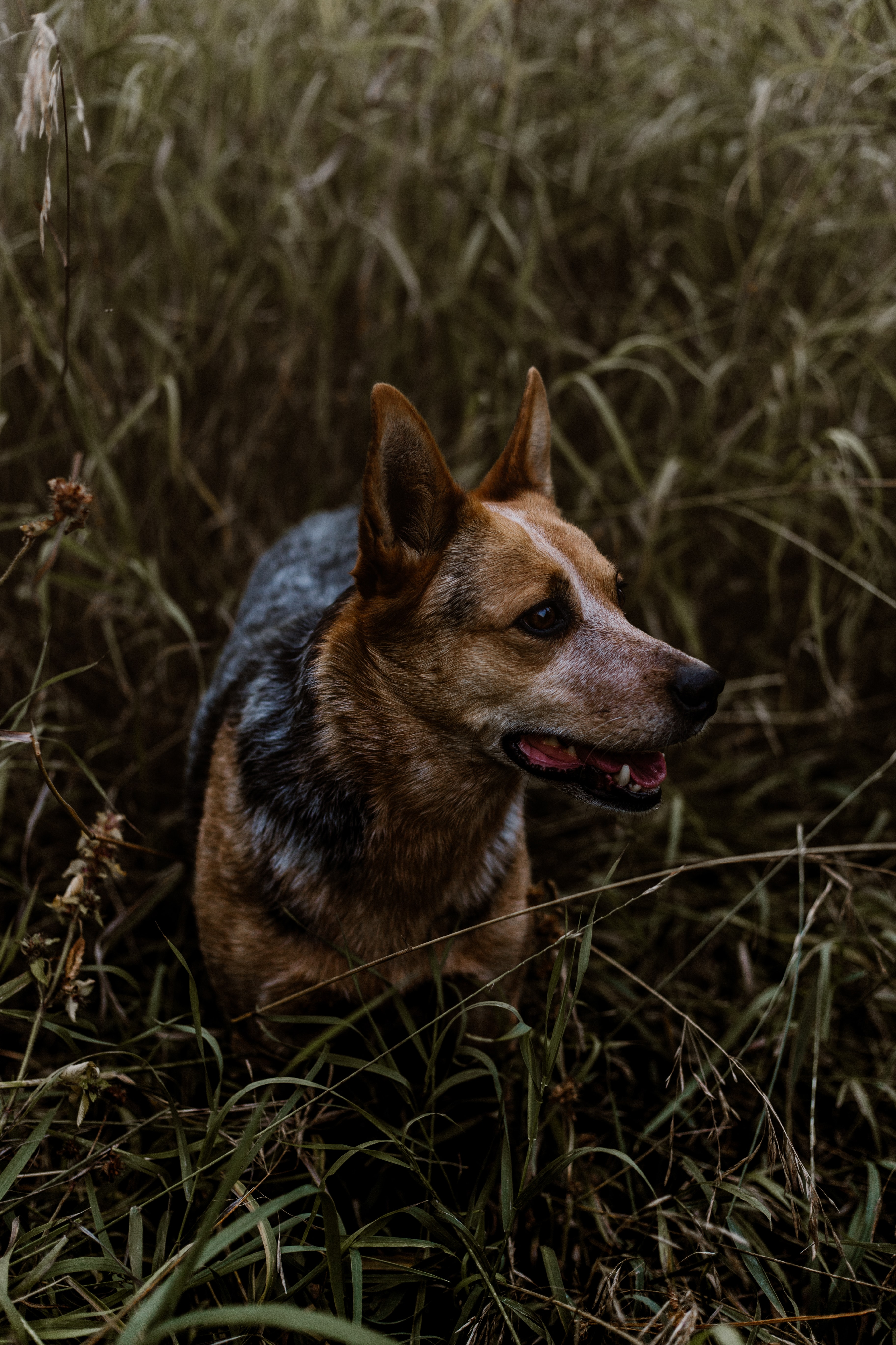 adult black and brown Australian cattledog