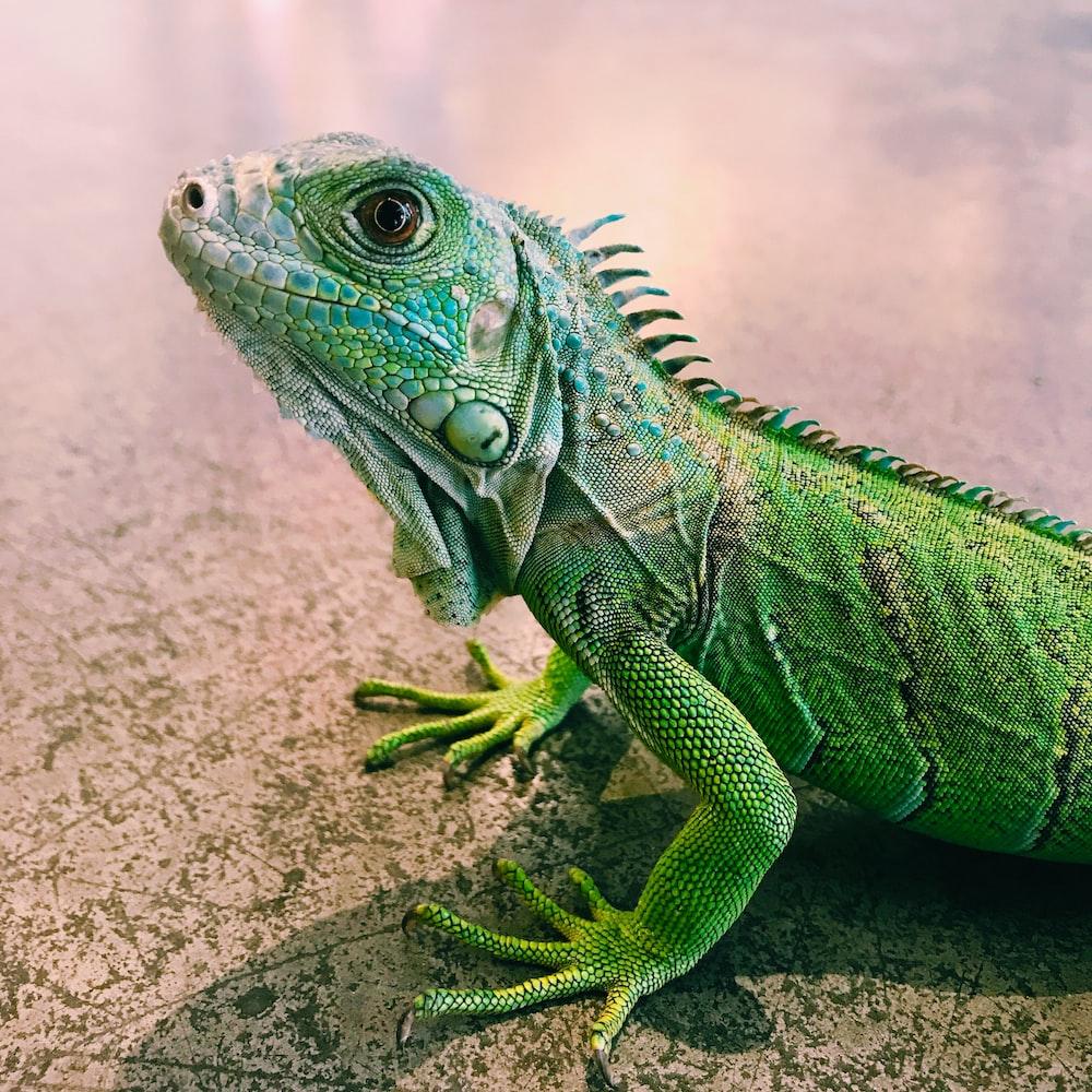 focus photography of iguana