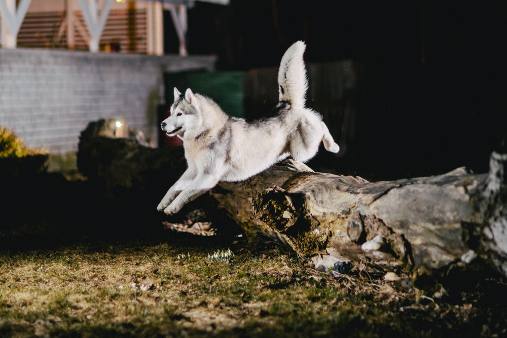 white Siberian Husky jumping on brown tree trunk during night time